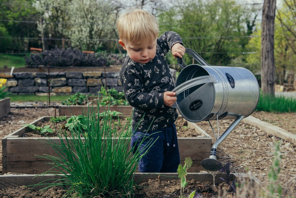 A toddler is holding a large silver watering can and it tipping it up over green plants in a garden